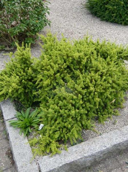 Podocarpus nivalis / Steineibe