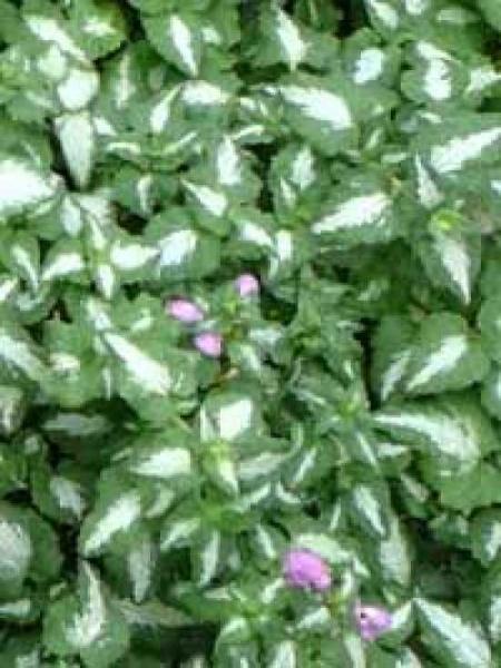 Lamium maculatum 'Chequers' / Gefleckte Garten-Taubnessel