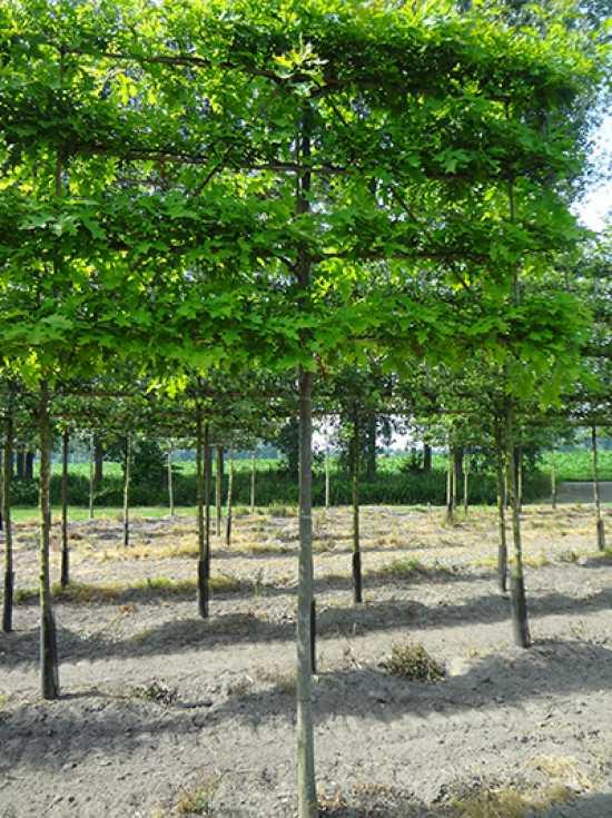 quercus palustris sumpf eiche 39 hochstamm spalier 39 h 130 b 210 t 20 stamm 210 cm g nstig. Black Bedroom Furniture Sets. Home Design Ideas