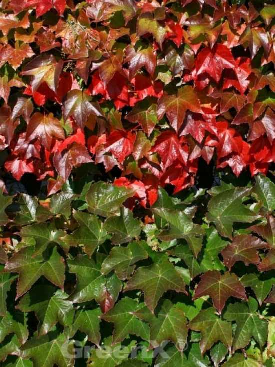parthenocissus tricuspidata 39 veitchii robusta 39 dreilappige jungfernrebe 39 veitchii robusta. Black Bedroom Furniture Sets. Home Design Ideas