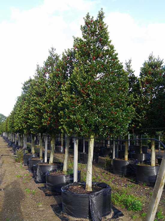 ilex aquifolium 39 siberia 39 ilex aquifolium 39 limsi 39 stechpalme 39 limsi 39 stechplame siberia. Black Bedroom Furniture Sets. Home Design Ideas