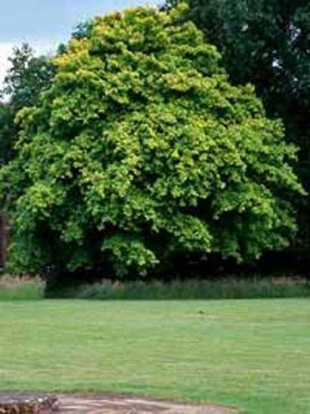 Acer cappadocicum / Kolchischer Ahorn