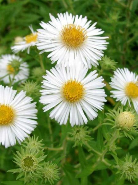Aster novae-angliae 'Herbstschnee' / Beet-Rauhblatt-Aster 'Herbstschnee'