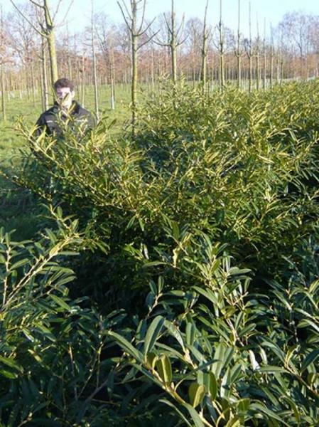 Prunus laurocerasus 'Zabeliana' / Kirschlorbeer 'Zabeliana' 150-175 cm mit Drahtballierung