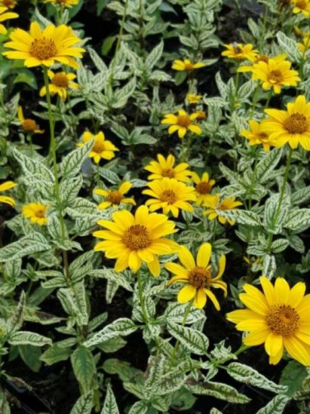 Heliopsis helianthoides var. scabra 'Loraine Sunshine' / Sonnenauge 'Loraine Sunshine'