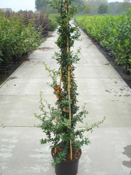 Pyracantha 'Orange Glow' / Feuerdorn 'Orange Glow' 150-175 cm im 7-Liter Container