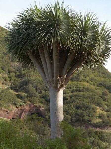 Dracaena draco / Kanarischer Drachenbaum