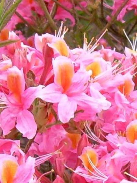 Azalea luteum 'Cecile' (Knap-Hill) / Laubabwerfende Azalee 'Cecile'