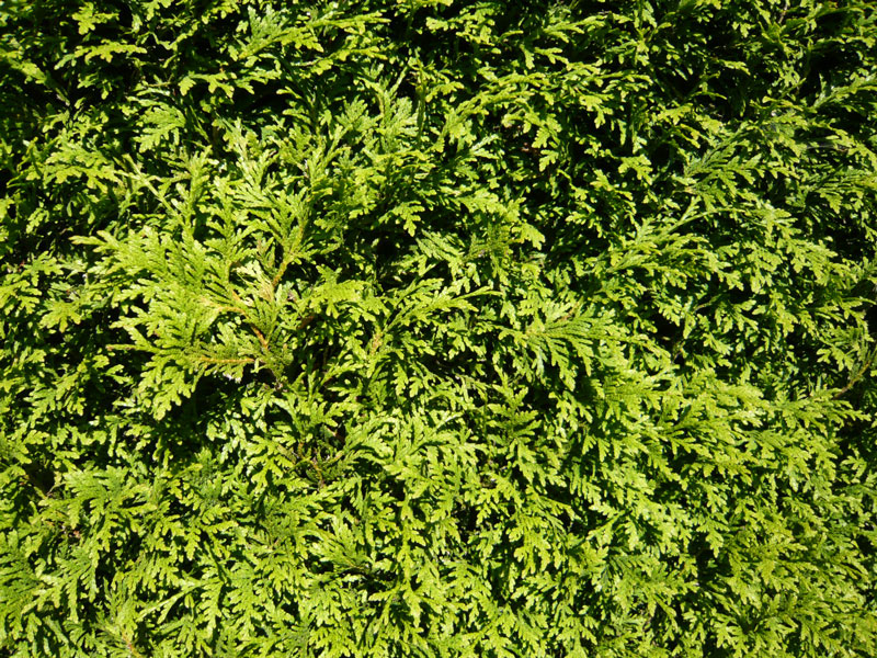 Thuja Occidentalis Brabant Lebensbaum Brabant Gunstig In Top