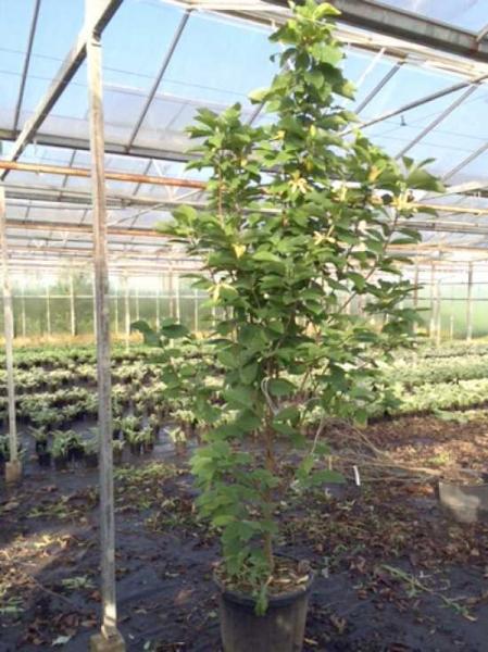 Magnolia 'Daphne' / Magnolie 'Daphne'