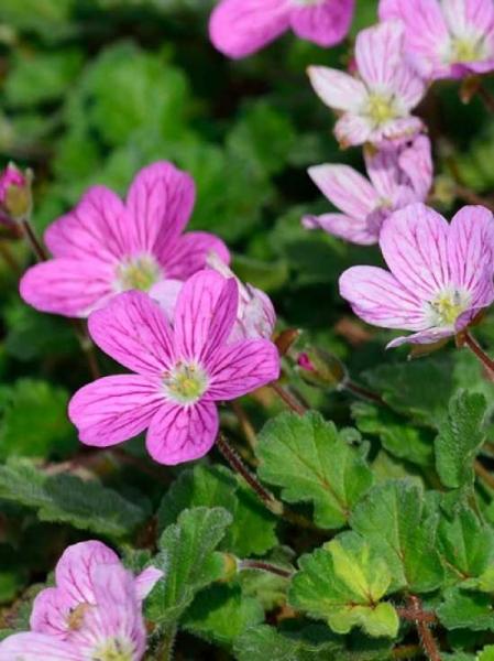Erodium variabile 'Roseum' / Garten-Reiherschnabel