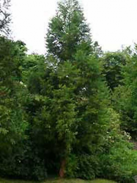 Cryptomeria japonica 'Cristata' / Hahnenkamm-Sicheltanne