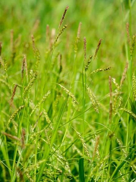 Carex sylvatica / Wald-Segge