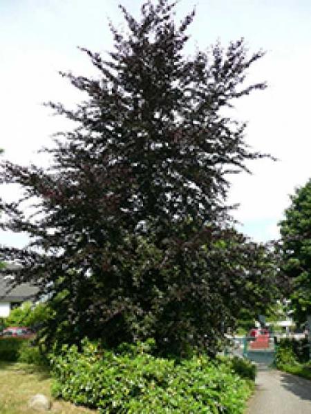 Fagus sylvatica 'Atropurpurea' / Blutbuche 'Atropurpurea'