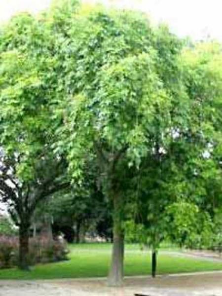 Fraxinus excelsior 'Pendula' / Hänge-Esche