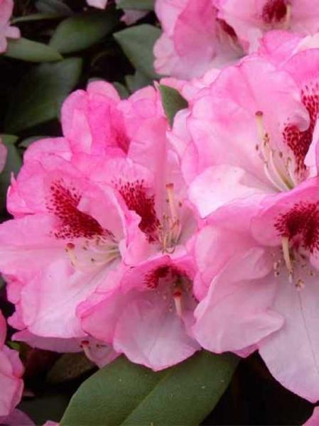 Rhododendron yakushimanum 'Nicoletta ®' / Rhododendron 'Nicoletta'