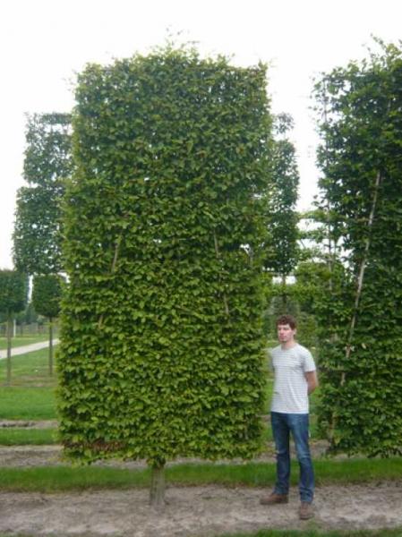 Carpinus betulus / Hainbuche / Weißbuche 'Boden-Spalier' H:400 B:200 T:20 (Stamm 50 cm)