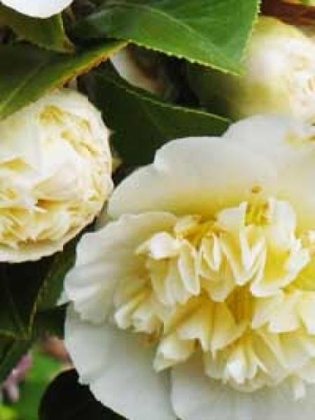 camellia japonica gelb japanische kamelie gelb g nstig kaufen. Black Bedroom Furniture Sets. Home Design Ideas