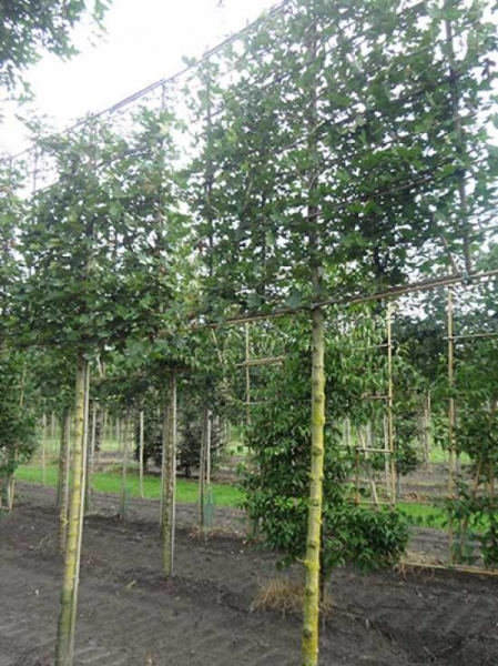 Acer campestre 'Elegant' / Feld-Ahorn 'Elegant' 'Hochstamm-Spalier' H:160 B:160 T:20 (Stamm 210 cm