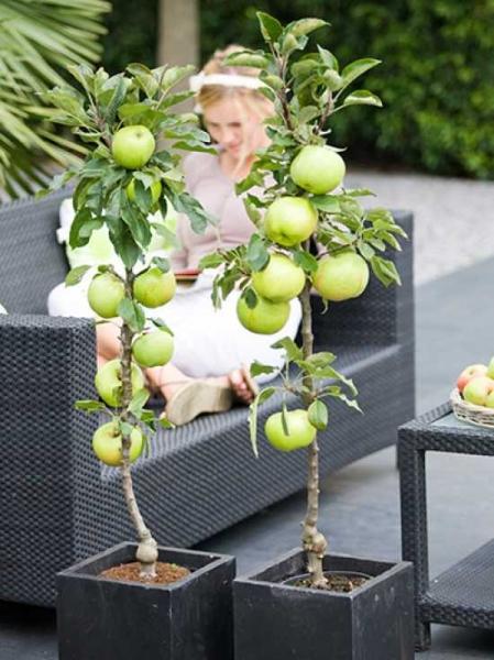 Malus 4Sure 'Green Apple' / Säulenapfel 'Green Apple'