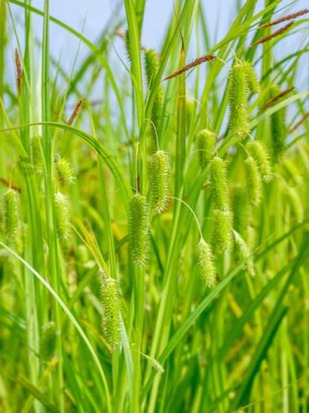 Carex pseudocyperus / Scheinzyperngras-Segge