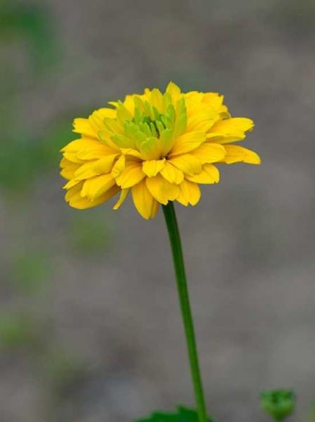 Heliopsis helianthoides var. scabra 'Goldgrünherz' / Garten-Sonnenauge 'Goldgrünherz' / Gefülltes Sonnenauge 'Goldgrünherz'