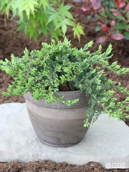 Juniperus communis 'Repanda' / Kriechender Wacholder
