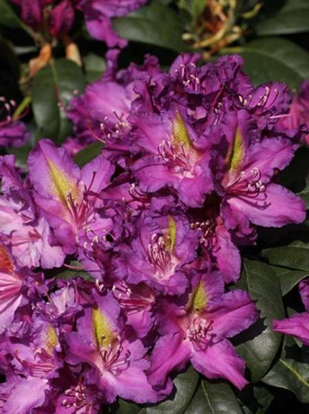 Rhododendron Hybride 'Libretto' / Rhododendron 'Libretto'
