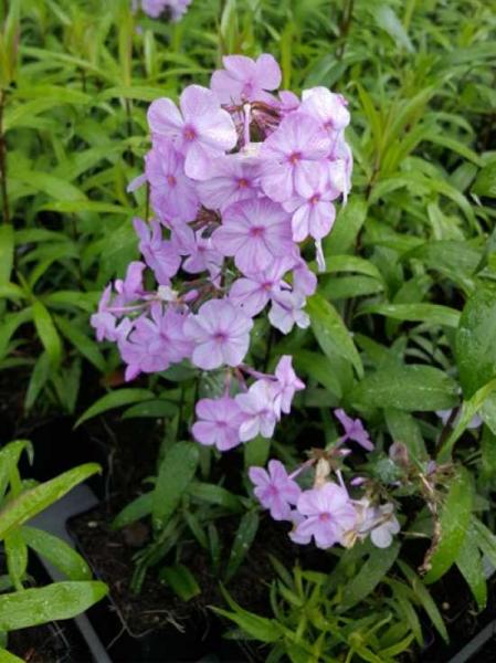 Phlox maculata 'Rosalinde' / Garten-Flammenblume 'Rosalinde'