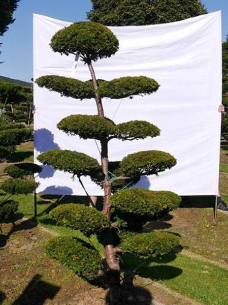 Taxus baccata 'Semperaurea' H: 220 cm B: 120 cm / Garten-Bonsai (0177)