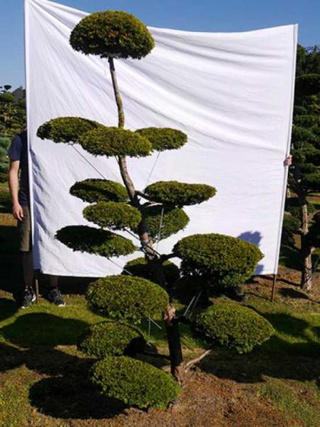 Taxus baccata 'Semperaurea' H: 230 cm B: 140 cm / Garten-Bonsai (0151)