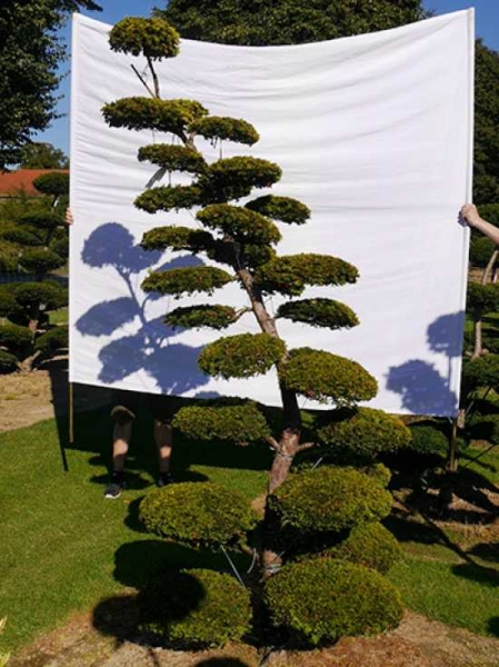 Taxus baccata 'Semperaurea' H: 280 cm B: 130 cm / Garten-Bonsai (0175)