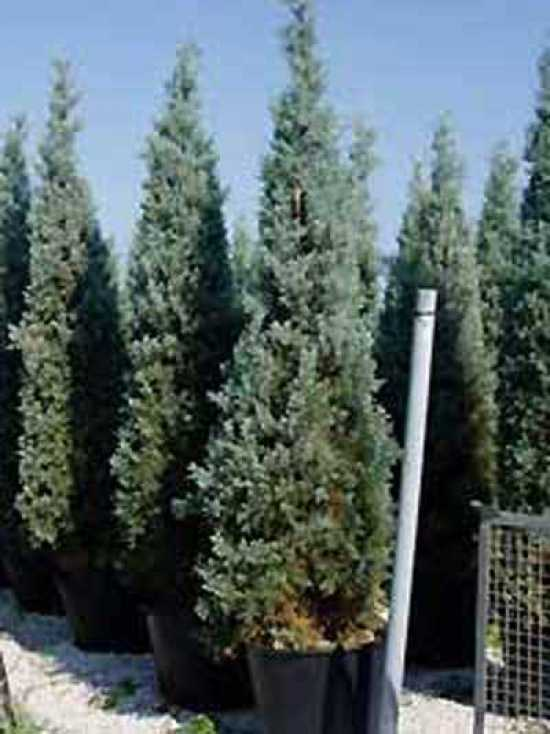 cupressus arizonica 39 glauca 39 blaue arizona zypresse g nstig kaufen. Black Bedroom Furniture Sets. Home Design Ideas