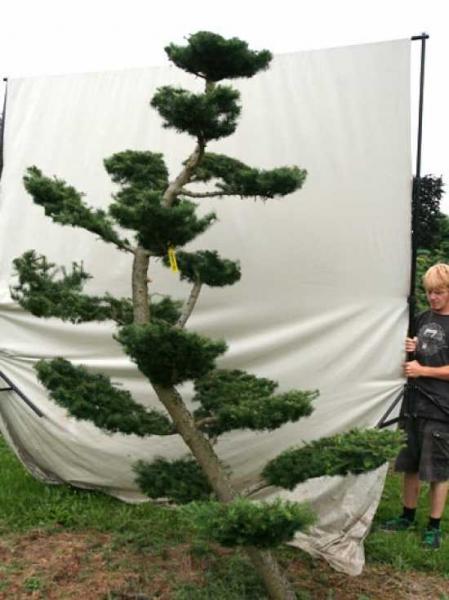 Larix decidua H: 300 cm B: 220 cm / Garten-Bonsai (801101)