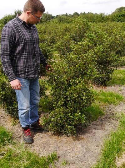 Osmanthus heterophyllus / Ilexblättrige Duftblüte 100-125 cm mit Ballierung