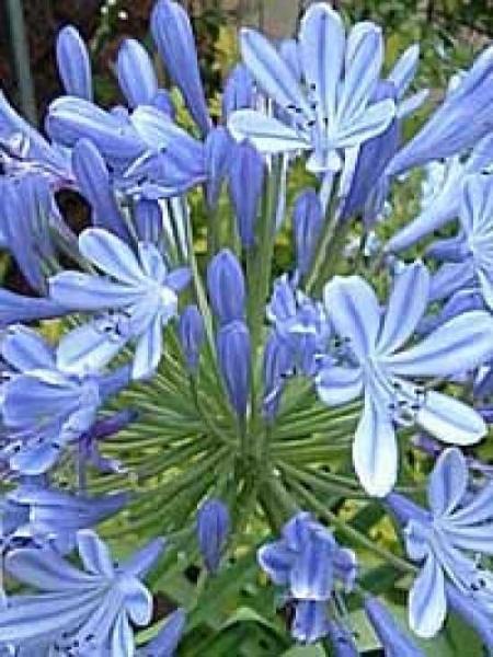 Agapanthus africanus 'Donau' / Blaue Afrikanische Schmucklilie