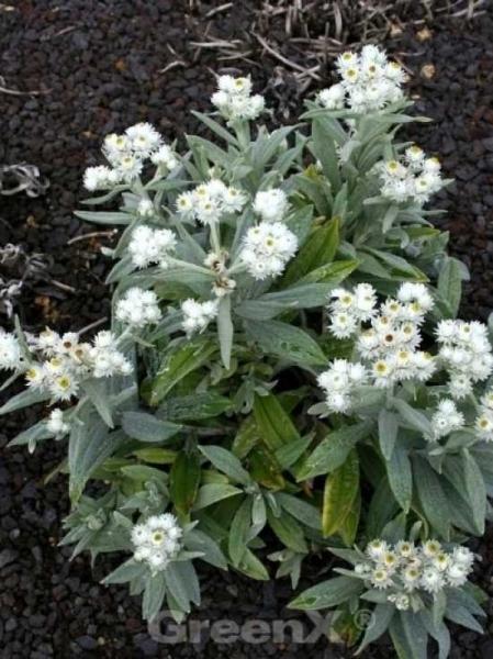 Anaphalis triplinervis 'Sommerschnee' / Garten-Perlkörbchen