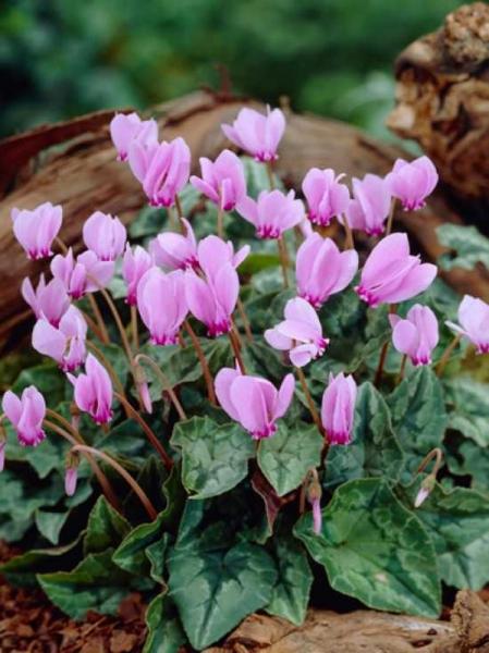 Cyclamen hederifolium / Herbst-Alpenveilchen