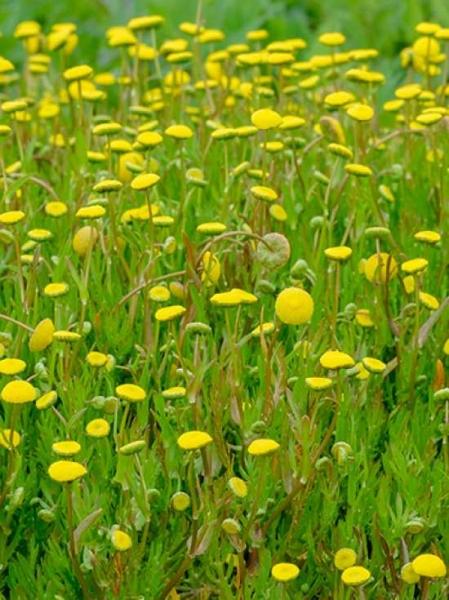 Cotula coronopifolia / Krähenfuß-Laugenblume / Goldköpfchen