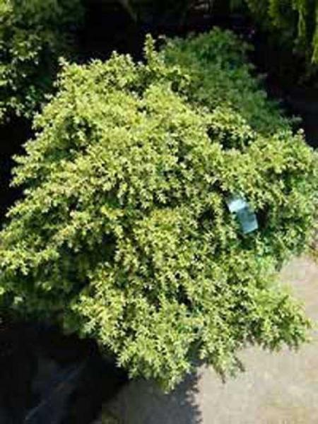 Cryptomeria japonica 'Yokohama' / Hahnenkamm-Sicheltanne 'Yokohama'