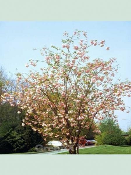Prunus serrulata 'Pink Perfektion' / Japanische Zierkirsche 'Pink Perfektion'