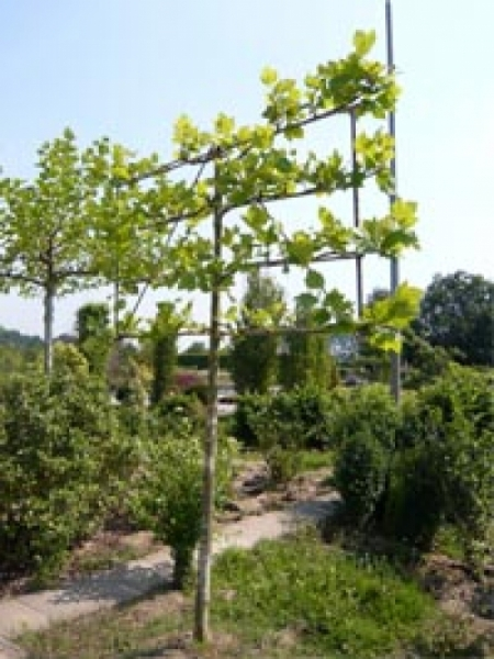 Platanus acerifolia / Spalier-Platane 'Hochstamm-Spalier' H:150 B:200 T:10