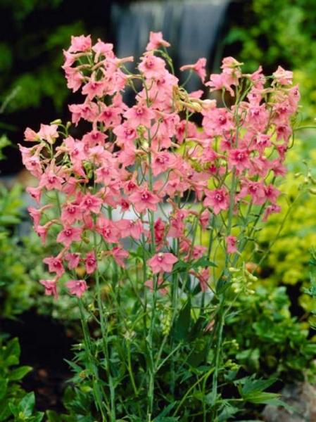 Delphinium ruysii 'Pink Sensation' / Ruys-Garten-Rittersporn