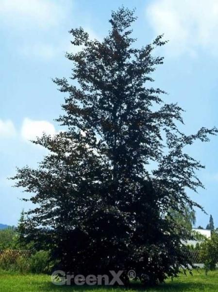 Fagus sylvatica 'Purpurea Latifolia' / Blut-Buche