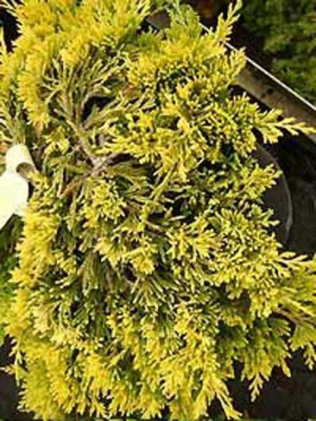 Juniperus squamata 'Golden Carpet' / Zwerg-Wacholder 'Golden Carpet'