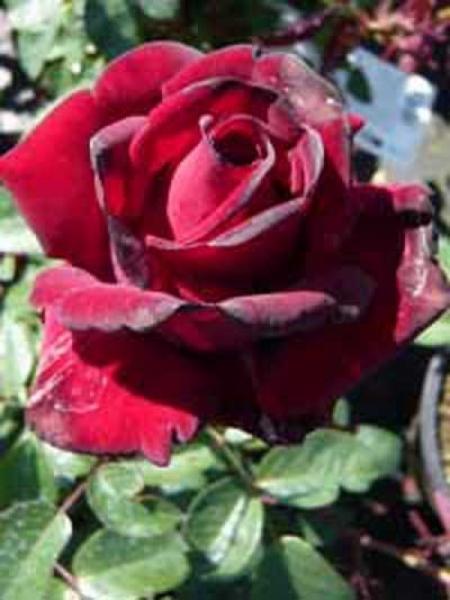 Rosa 'Ingrid Bergmann ®' / Stammrose 'Ingrid Bergmann'