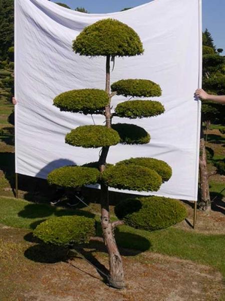 Taxus baccata 'Semperaurea' H: 210 cm B: 110 cm / Garten-Bonsai (0152)