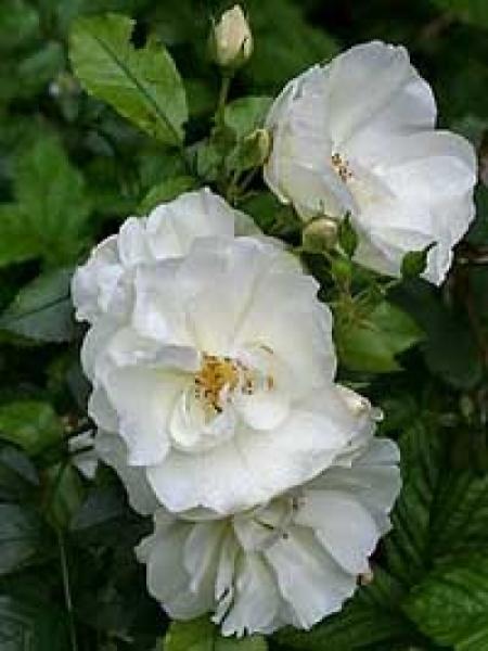 Rosa 'Schneeflocke ®' / Stammrose 'Schneeflocke'