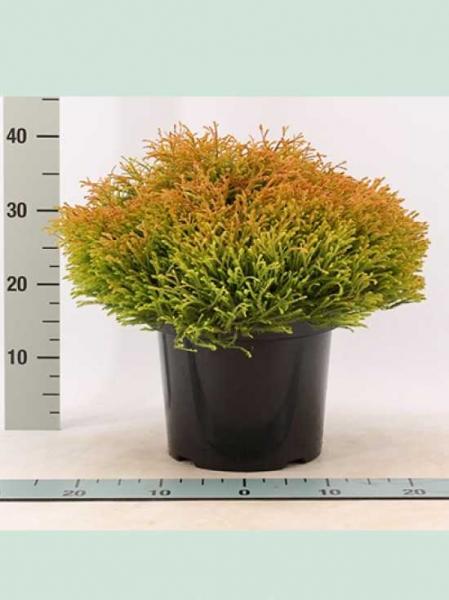 Thuja occidentalis 'Golden Tuffet' / Lebensbaum 'Golden Tuffet'