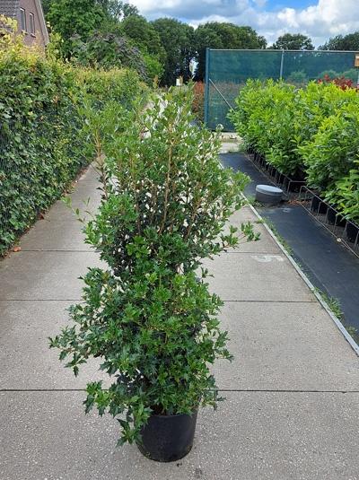 Osmanthus heterophyllus / Ilexblättrige Duftblüte 150-175 cm 20-Liter Container